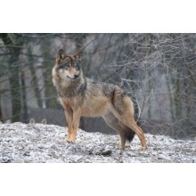 Приманки на волка
