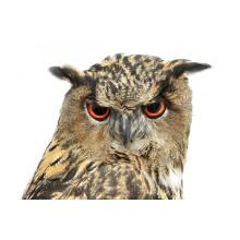 Чучела совы